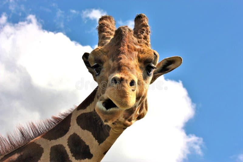 Giraffa divertente del fronte fotografia stock libera da diritti
