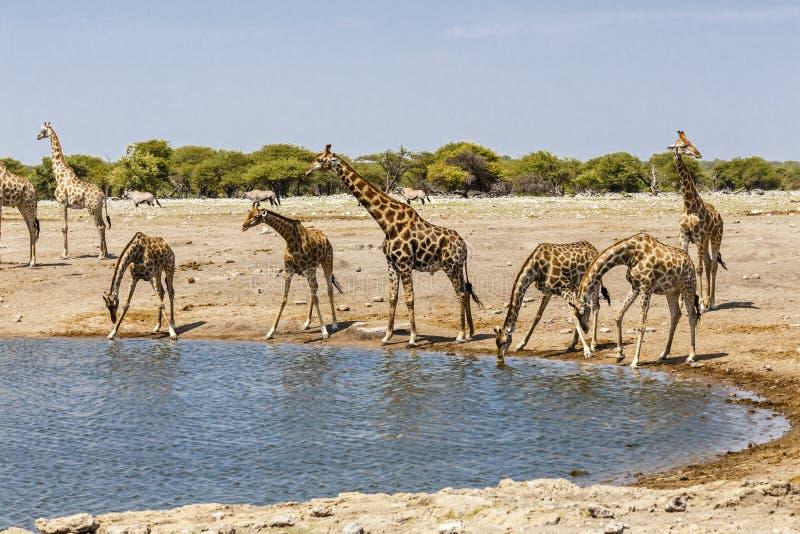 Giraffa do girafa no furo de água, imagens de stock royalty free