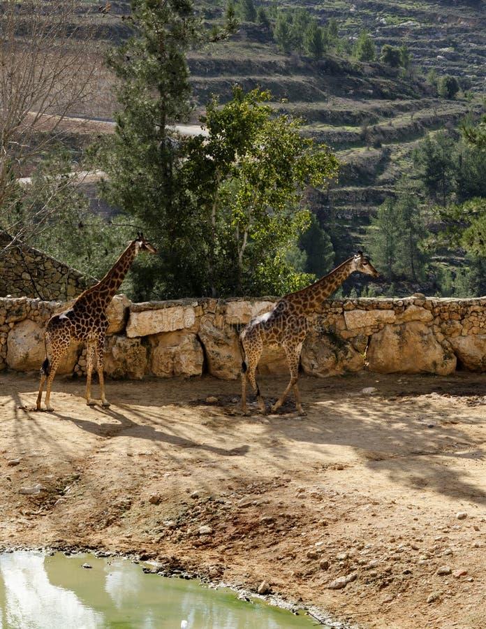 Giraffa due immagini stock libere da diritti