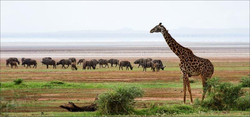 Giraffa e bufali. fotografia stock