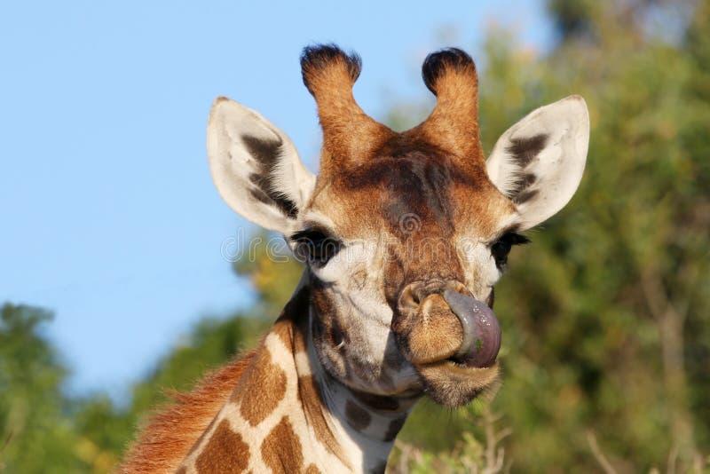 Giraffa e linguetta immagini stock libere da diritti