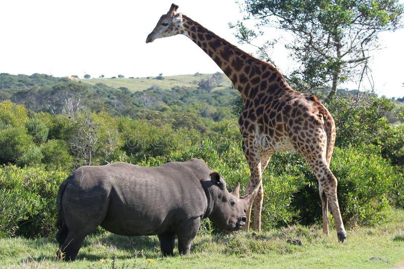 Giraffa e rinoceronte immagine stock