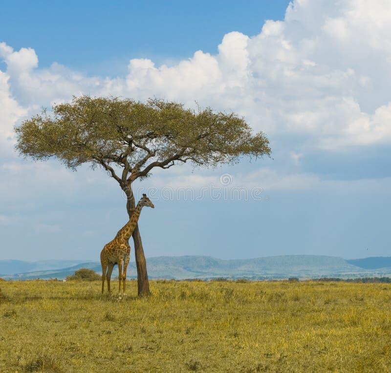 Giraffa e un albero immagine stock