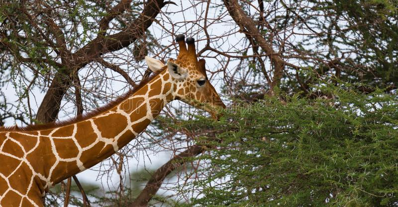 A giraffa eats the leaves of the acacia tree royalty free stock image