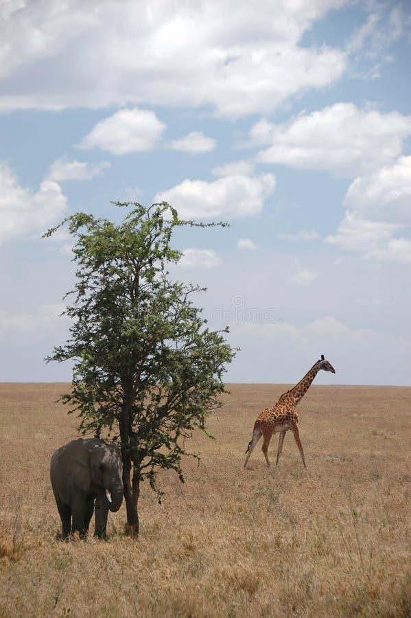 Giraffa ed elefante nel selvaggio immagini stock