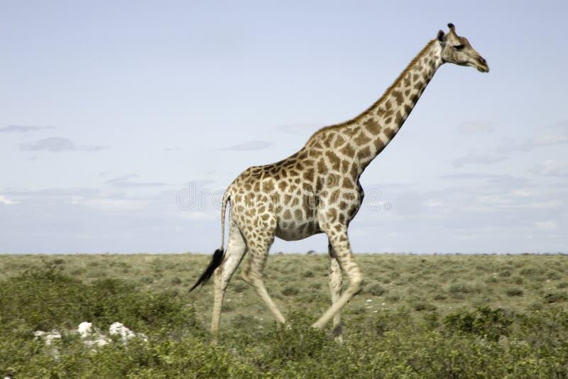 Giraffa in Etosha immagine stock