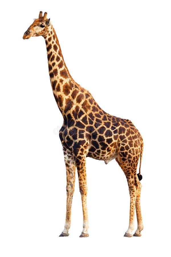 Giraffa isolata fotografie stock