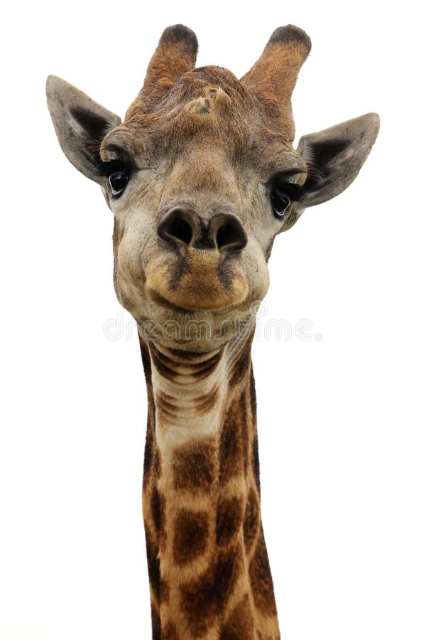 Giraffa - isolata fotografie stock