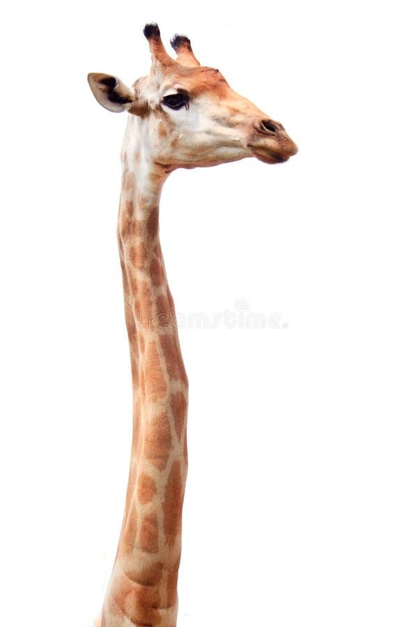 Giraffa lunga femminile del collo fotografie stock