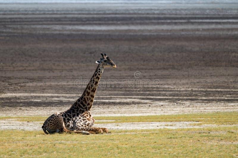 Download Giraffa Masai Che Si Siede Sull'erba Dal Lago Immagine Stock - Immagine di giraffe, animale: 117975359