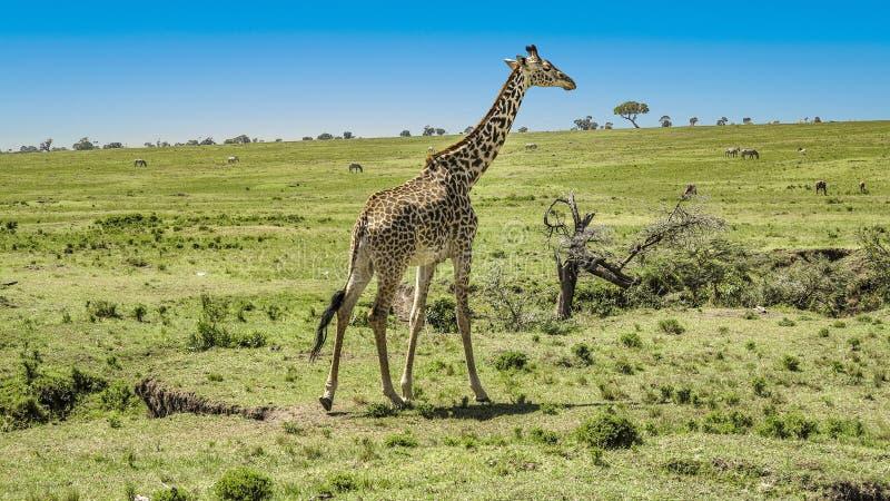 Giraffa in masai Mara National Park immagini stock libere da diritti