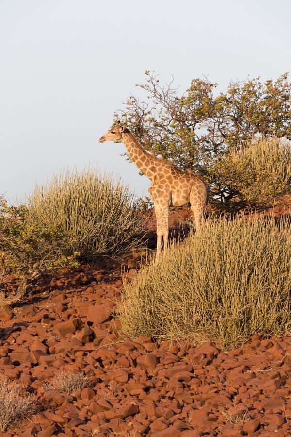 Giraffa in Namib fotografie stock libere da diritti