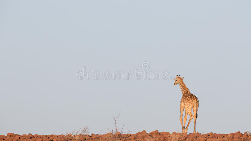 Giraffa in Namib fotografie stock