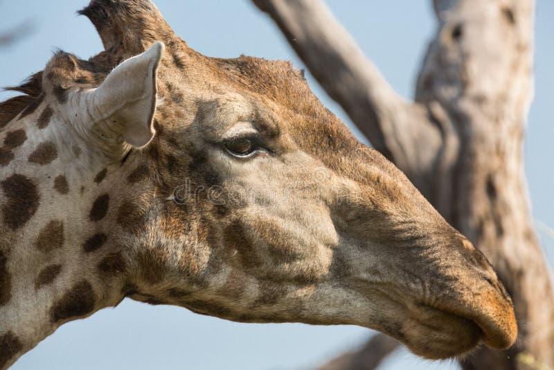 Giraffa in Namib fotografia stock