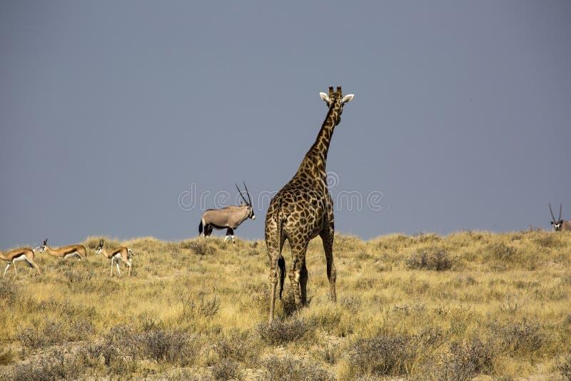 Giraffa in Namibia immagini stock