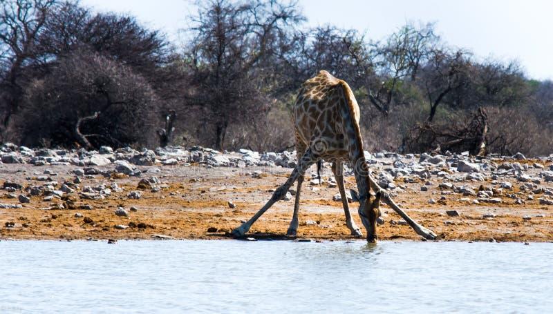 Giraffa in Namibia che beve da uno stagno fotografia stock