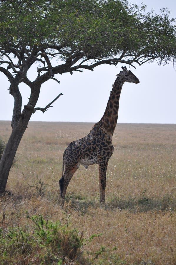 Giraffa nei campi immagini stock