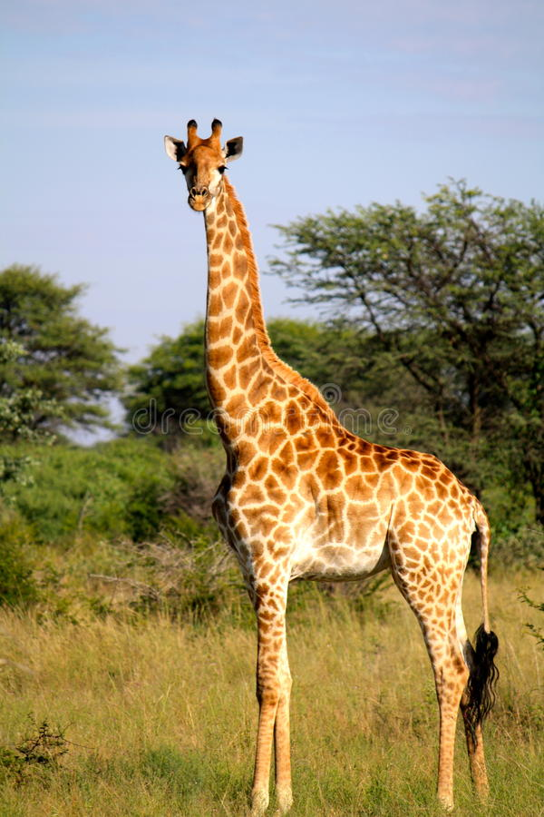 Giraffa nel Botswana fotografie stock