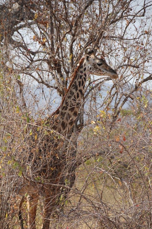 Giraffa nel cespuglio al parco nazionale di ruaha fotografia stock libera da diritti