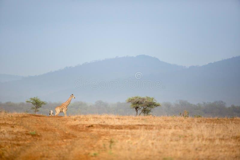 Giraffa nel paesaggio africano di safari immagini stock libere da diritti