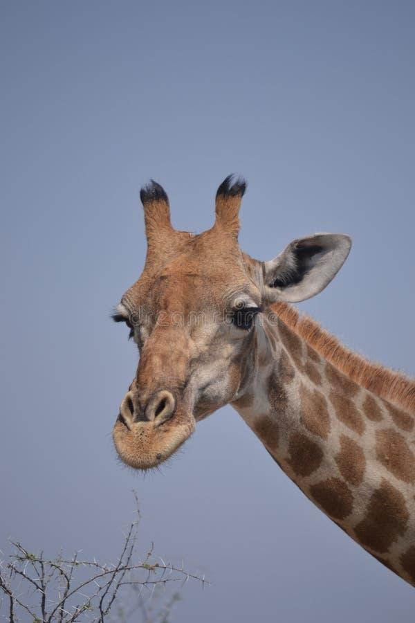 Giraffa nel parco nazionale di Etosha immagini stock