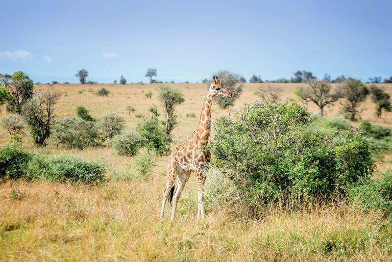 Giraffa nel parco nazionale di Murchison Falls nell'Uganda, Africa fotografie stock libere da diritti
