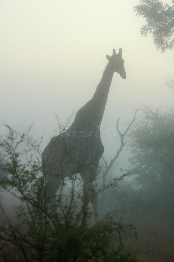 Giraffa nella foschia fotografie stock