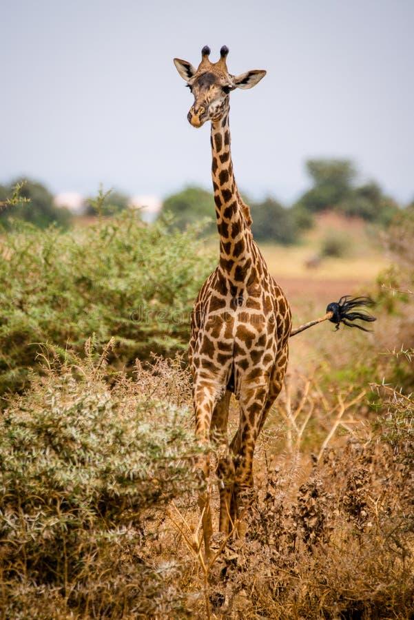 Giraffa nella sosta nazionale di Manyara del lago immagine stock libera da diritti