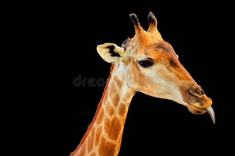 Giraffa principal isolado imagens de stock