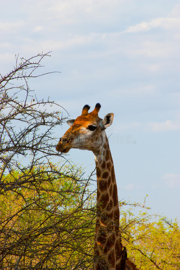 Giraffa Selvaggia Immagine Stock