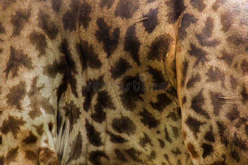 Giraffa sk obraz stock