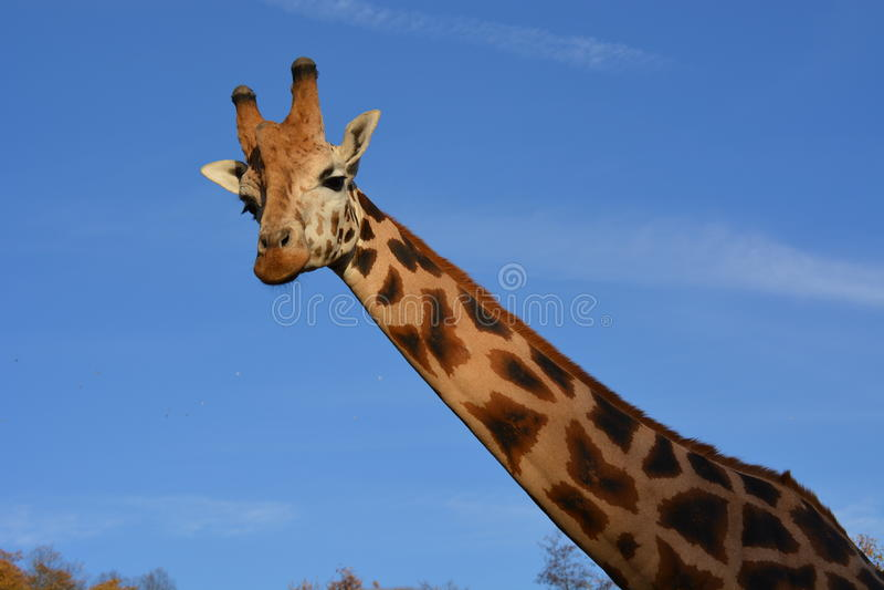 Giraffa su nelle nuvole fotografia stock