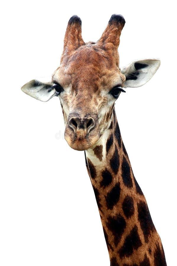 Giraffa su priorità bassa bianca immagine stock
