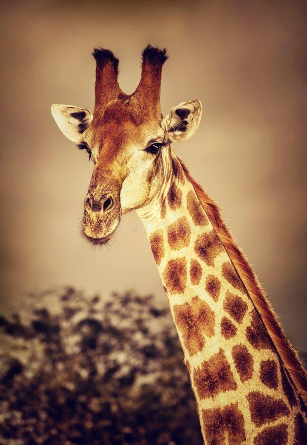 Giraffa sudafricana selvaggia fotografie stock