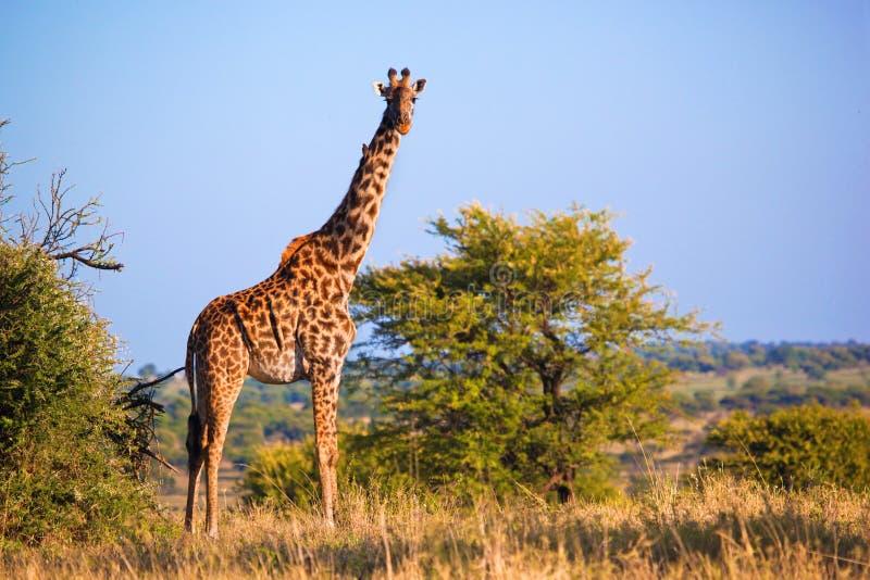 Giraffa sulla savanna. Safari in Serengeti, Tanzania, Africa