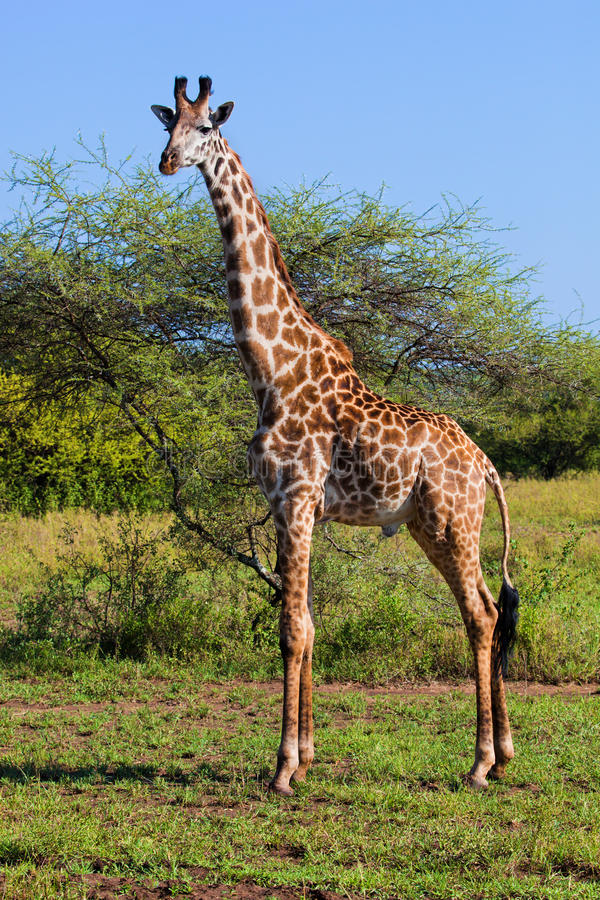 Giraffa sulla savanna. Safari in Serengeti, Tanzania, Africa fotografia stock libera da diritti