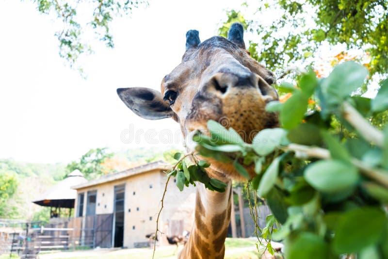 Giraffa sveglia che fa i fronti scettici mentre masticando alimento Il concetto degli animali nello zoo fotografia stock libera da diritti