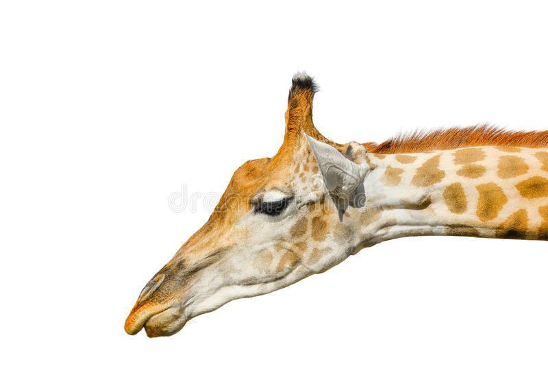 Giraffa sveglia isolata su fondo bianco Testa divertente della giraffa isolata La giraffa è animale vivo più alto e più grande in immagini stock