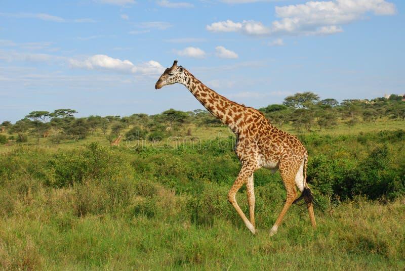Giraffa Tanzania fotografia stock