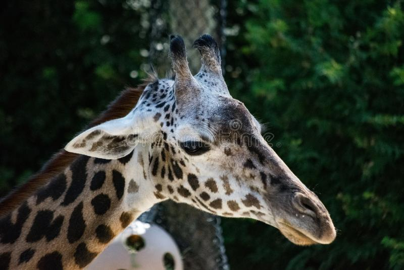 Giraffa triste di mamma immagine stock libera da diritti
