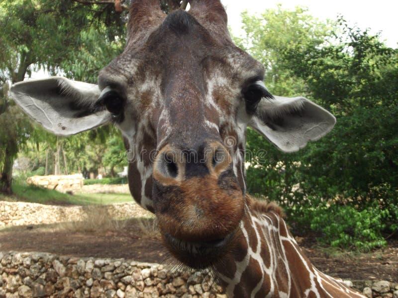 Giraffa verde smeraldo con uno sguardo interessato fotografie stock