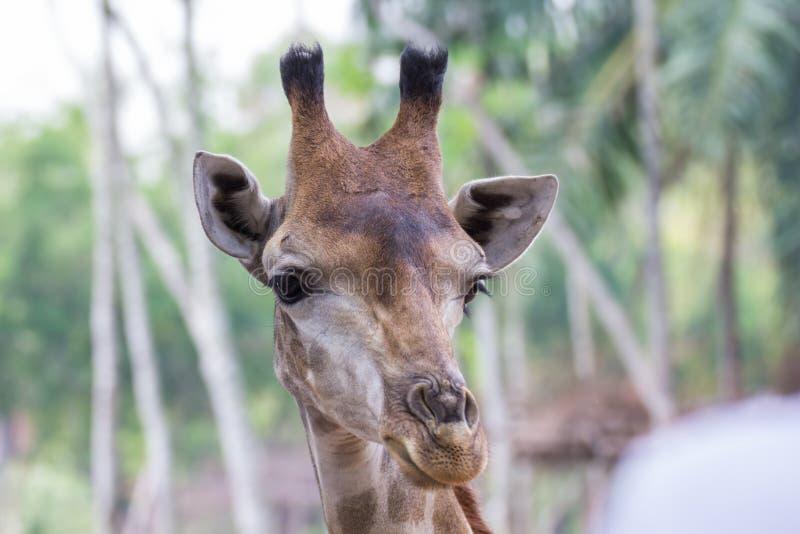 Giraffa in zoo fotografia stock