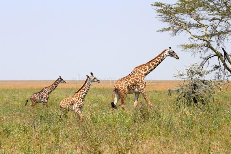 Giraffamilie royalty-vrije stock afbeeldingen