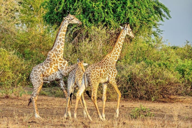 Giraffamilie Camelopardalis van girafgiraffa close-up Netwerkgiraf Wilde aard De giraf is het hoogste aardse dier royalty-vrije stock foto's