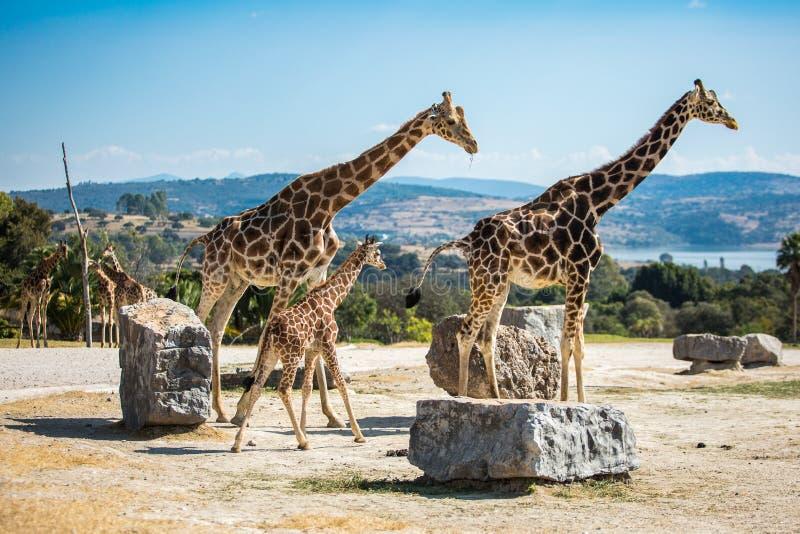 Giraffamilie op een gang stock foto