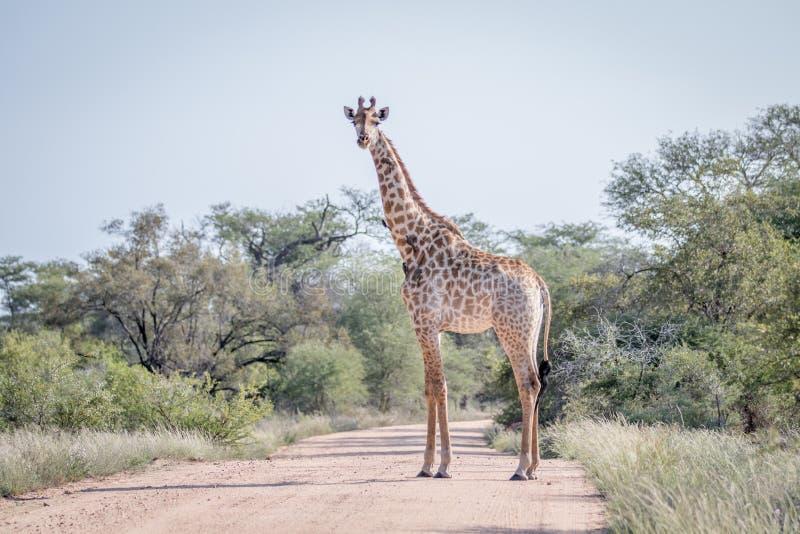 Giraffanseende i mitt av vägen arkivbild