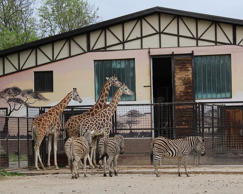 Giraffas e zebras no JARDIM ZOOLÓGICO de Bratislava foto de stock