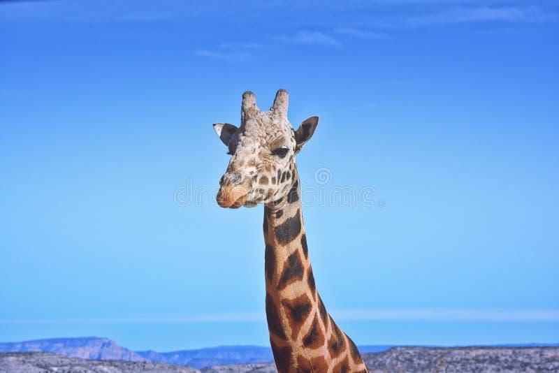 Giraffcloseupstående av framsidan fotografering för bildbyråer
