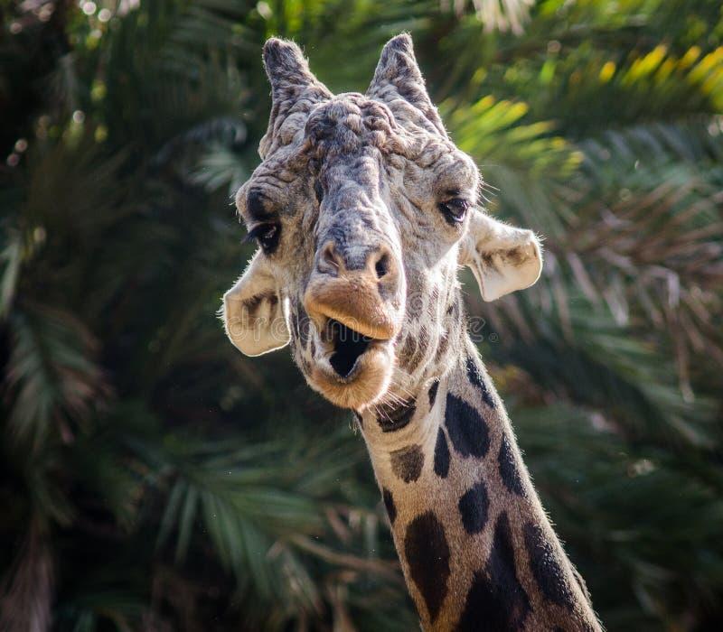 Giraffdanandeframsidor arkivfoton