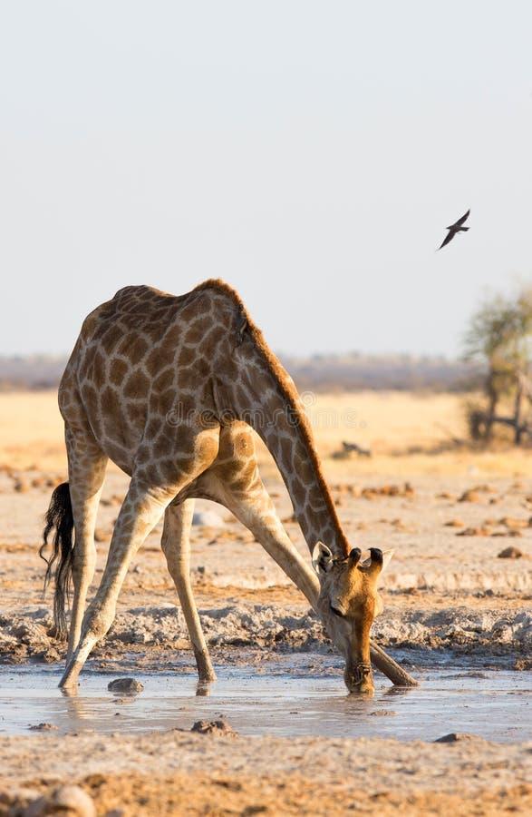 Giraffdricksvatten på den Nxai pannan NP arkivfoto